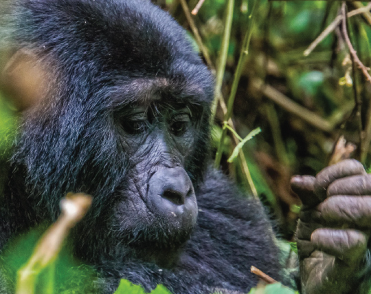 gorilla trekking safari fly into bwindi